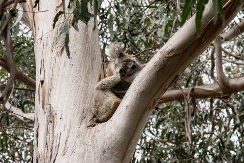 Koala in Manna Gum,  Kangaroo Island