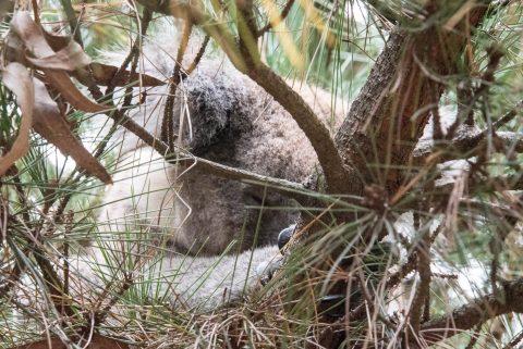 Koala asleeo,  Kangaroo Island