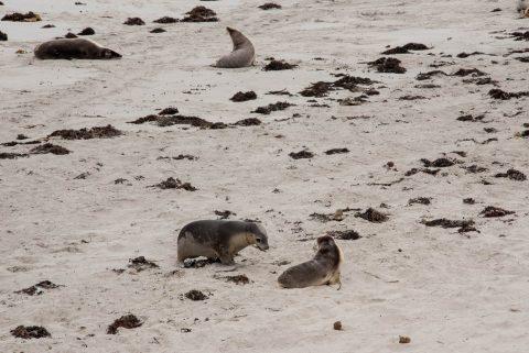Australian Sea-Lions, Seal Bay, Kanarooo Island