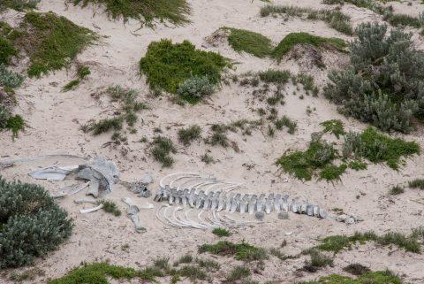Skeleton of young whale, Seal Bay, Kangaroo Island