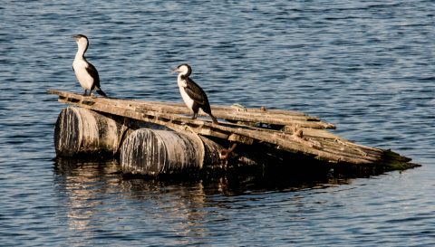 Little Pied Cormorants, Apollo Bay, Great Ocean Road