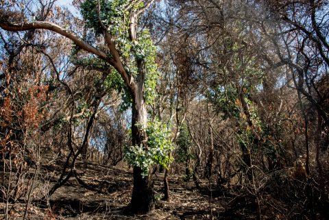 Regenervation after forest fires, Great Ocean Road