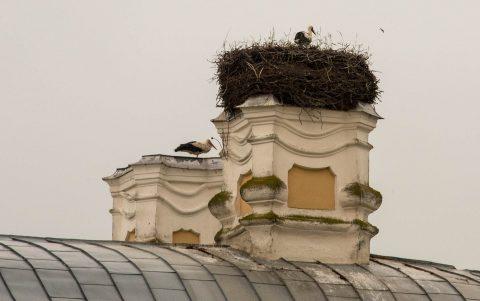 Rundale Palace Storks, Latvia