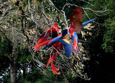 Macaws fighting, Copan