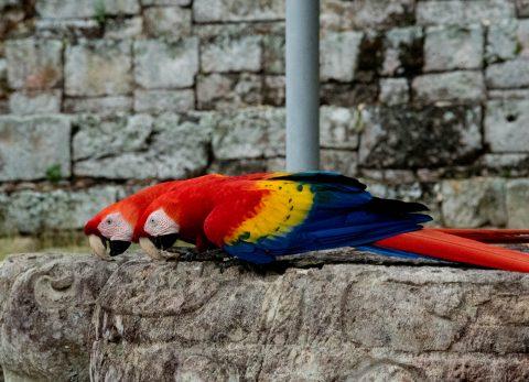 Macaws,  Copan