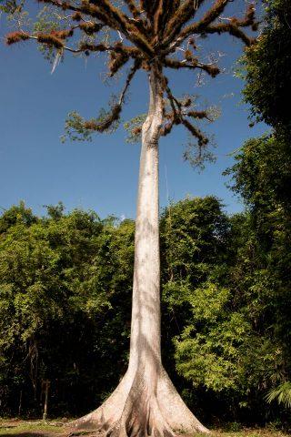 Ceiba (kapok) tree, Tikal
