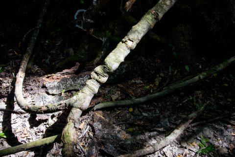 Tree root, Tikal