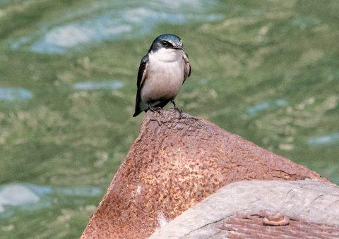 Mangrove swallow, Mopan River, Belize
