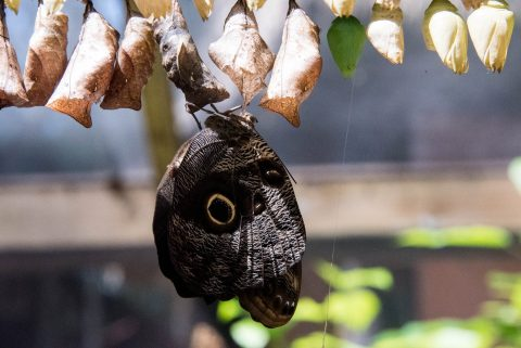 Owl Butterfly and chrysalis,,  Belize