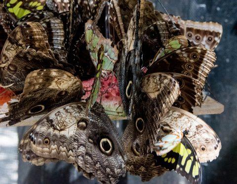 Owl Butterflies, Belize