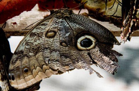 Owl Butterfly, Belize