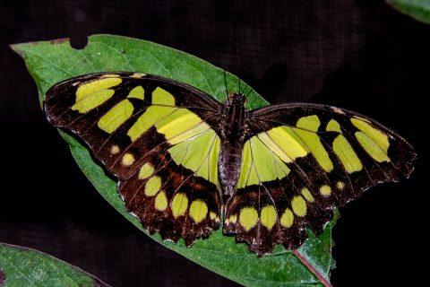Malachite butterfly, Belize, Belize
