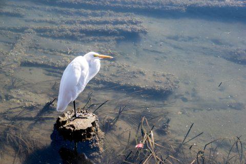 Egret, Siuslaw River, Florence