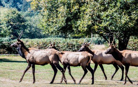 Roosevelt Elk,, Prairie Creek Redwoods SP, California
