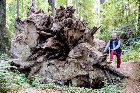Redwood root, Humboldt Redwoods SP, California
