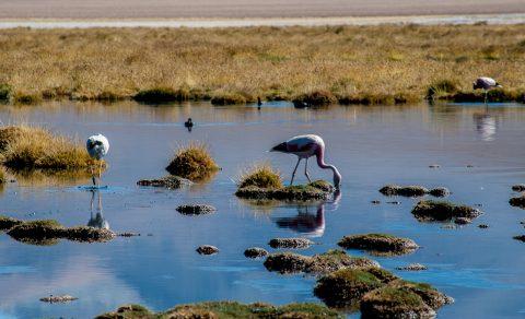 Flamingos, near San Pedro de Atacama, Chile