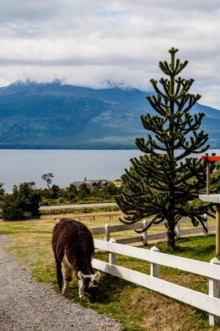 Monkey puzzle tree, near Puerto Varas, Chile