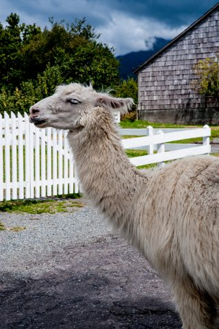 Llama on farm near Puerto Varas, Chile