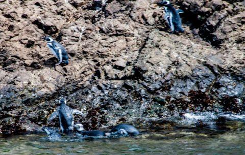 Magallanic penguins, Punihuil, Chiloe, Chile