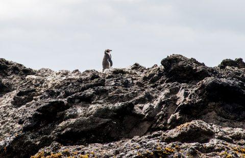 Humboldt penguin, Punihuil,  Chiloe, Chile