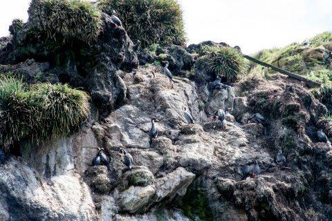 Cormorants, Punihuil, Chiloe, Chile