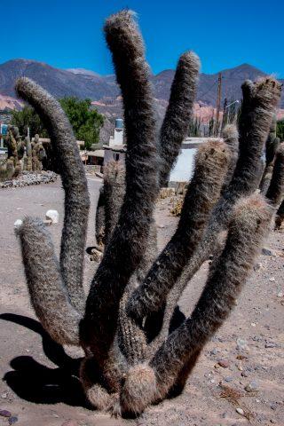 Cacti, Pucara de Tilcara, Humahuaca Gorge, Argentina