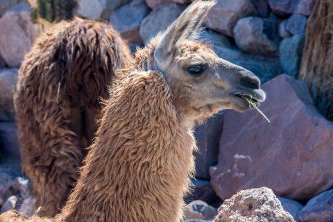Alpaca, Humahuaca Gorge, Argentina