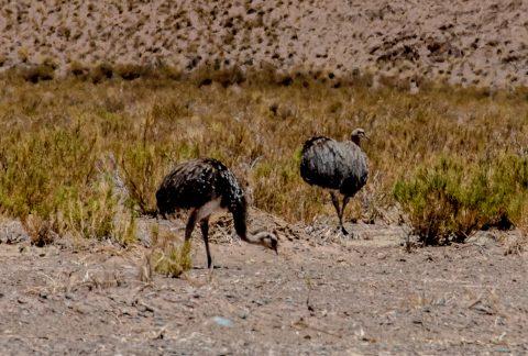 Rhea, Altiplano, Argentina