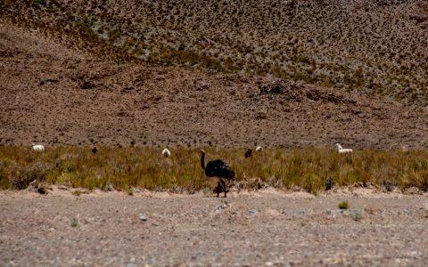 Rhea & Llamas, Altiplano, Argentina