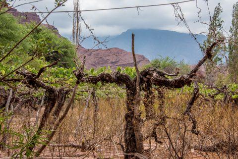 Santa Barbara vineyards, Quebrada de las Conchas, Argentina