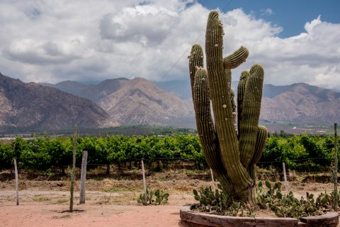 Bodega La Banda - vineyard - Cafayate, Argentina