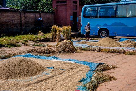 Drying rice, Bhaktapur,  Nepal