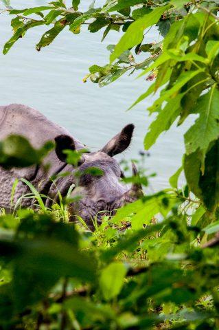 Rhino, Rapti river,  Royal Chitwan National Park, Nepal