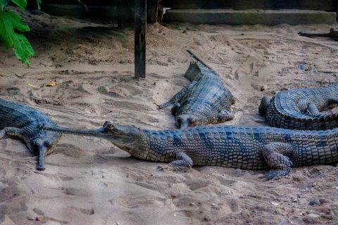 Crocodile breeding farm,  Royal Chitwan National Park, Nepal