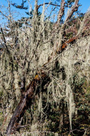 Spanish Moss lichen, Chendebji, Bhutan
