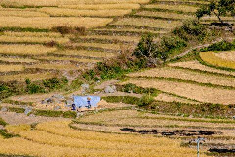 Cultivated terraces, Punakha, Bhutan
