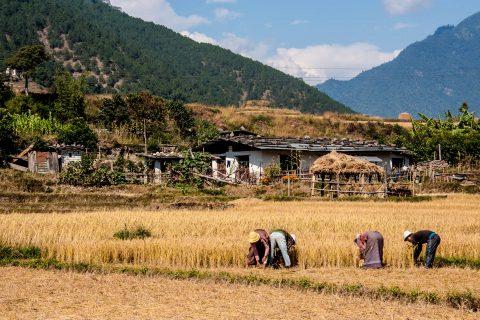 Harvesting, Punakha, Bhutan
