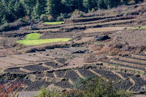 Cultivated terraces Paro Valley, Bhutan