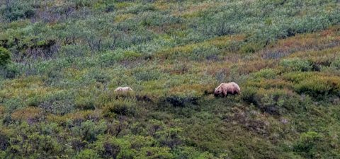 Grizzly bears, Denali NP, Alaska