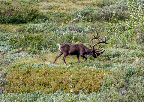Caribou, Denali NP, Alaska
