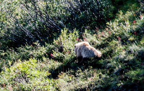 Grizzly bear, Denali NP, Alaska