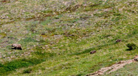 Grizzly bear mother & cubs, Denali NP, Alaska
