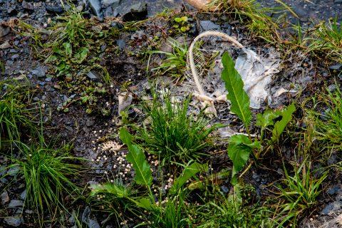 Dead salmon at Solomon Gulch Hatchery, Valdez, ALaska
