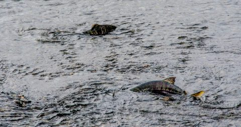 Salmon at Solomon Gulch Hatchery, Valdez, ALaska