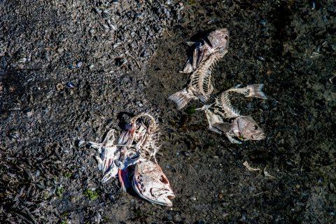 Salmon bones Seward waterfront, Alaska