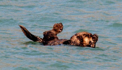 Sea otter, Resurrection Bay, Seward, Alaska