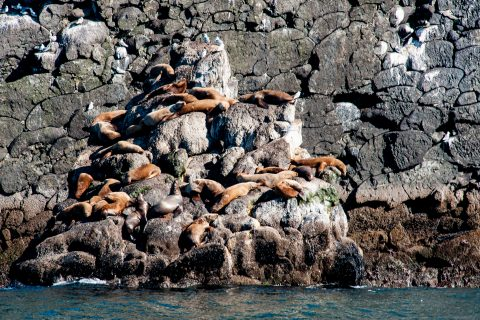 Steller Sea Lions, Resurrection Bay, Seward, Alaska