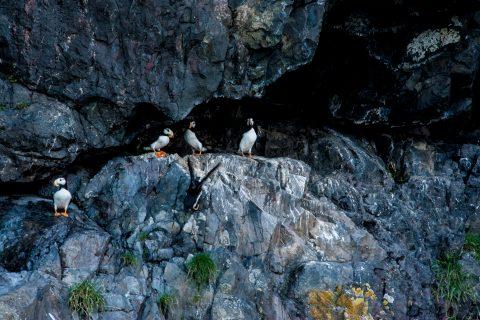 Horned Puffins, Resurrection Bay, Seward, Alaska
