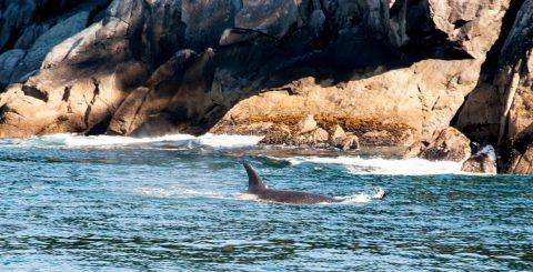 Orcas, Gulf of Alaska