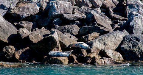 Steller Sea Lions, Gulf of Alaska